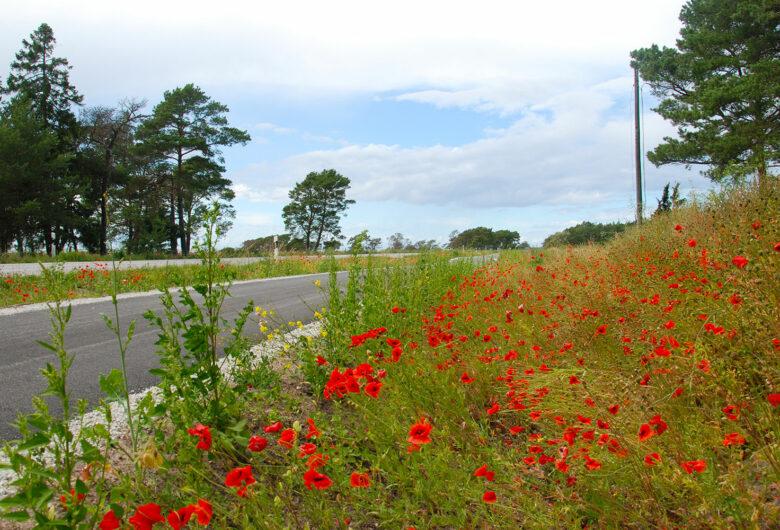Gotland vägkantsflora