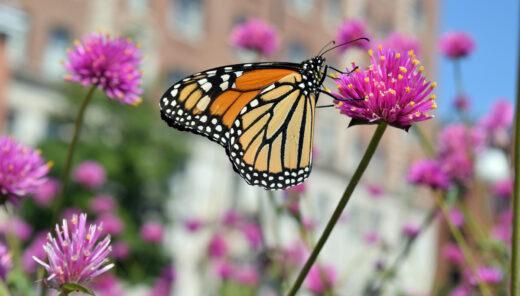 Fjäril sittandes på klöverblomma
