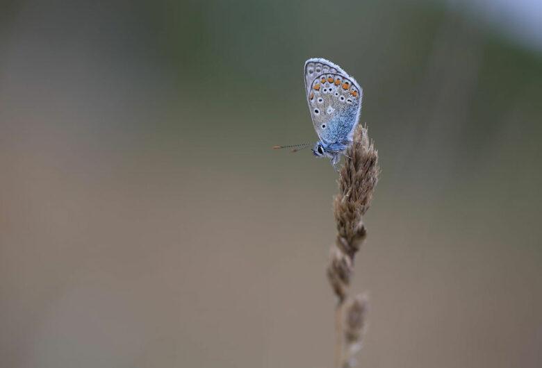 Fjäril på strå